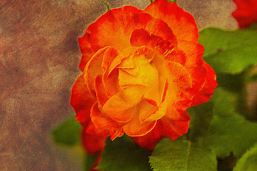 Variegated Photograph - Variegated Beauty - Rose Floral by Barry Jones
