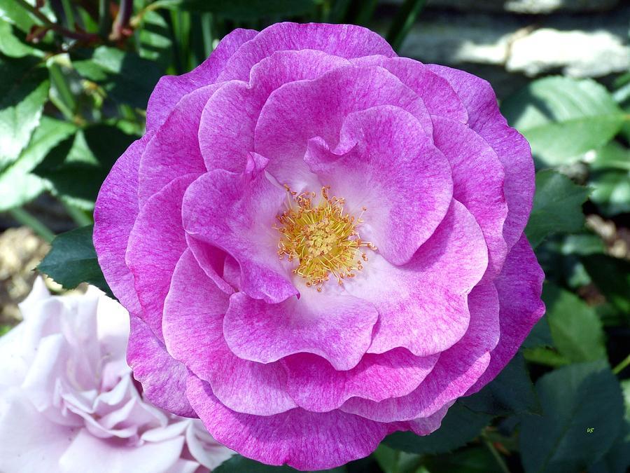 Variegated Pink Rose Photograph