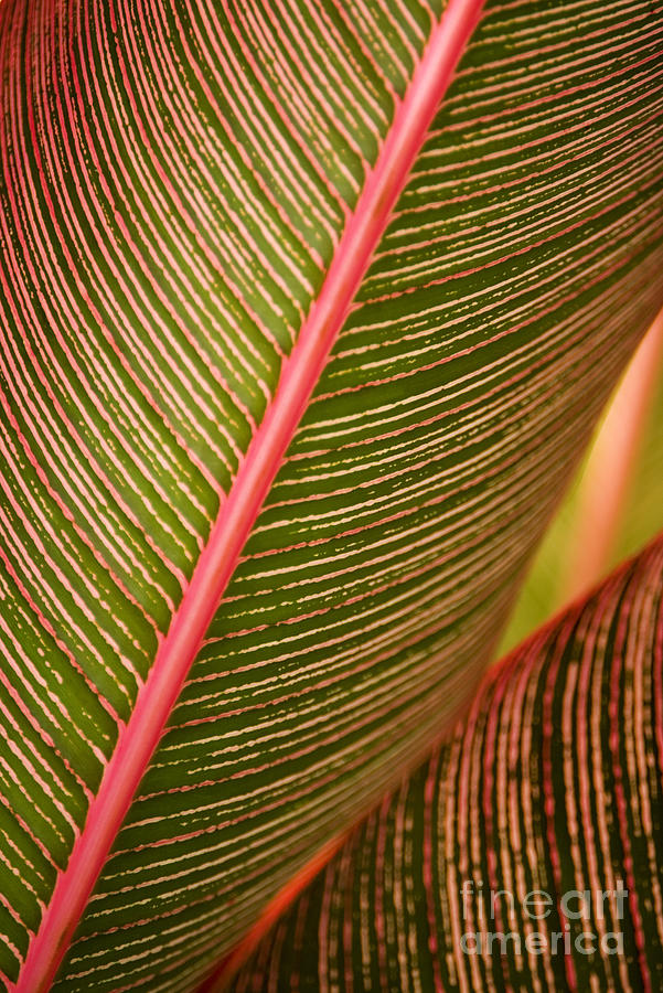 Abstract Photograph - Variegated Ti-leaf 1 by Ron Dahlquist - Printscapes