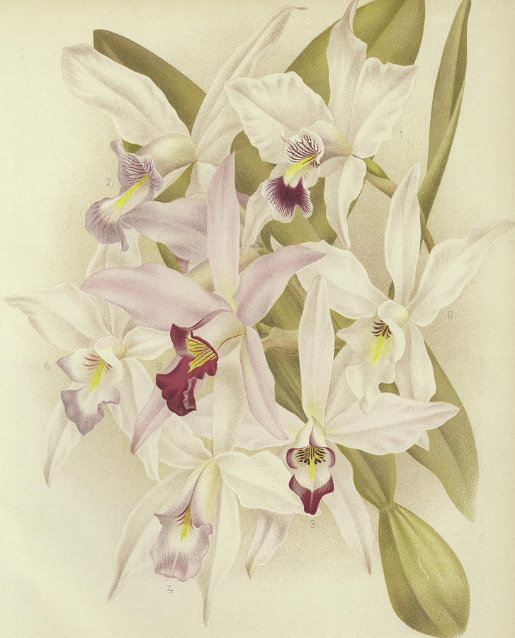 Orchid Painting - Varieties Of Laelia Anceps by English School
