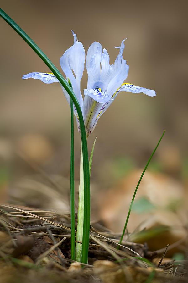 Flower Photograph - Vartans Iris by Yuri Peress