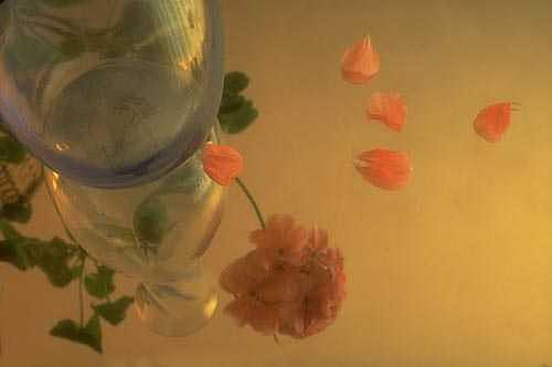 Still Life Photograph - Vase And Geranium by Catherine Kelly