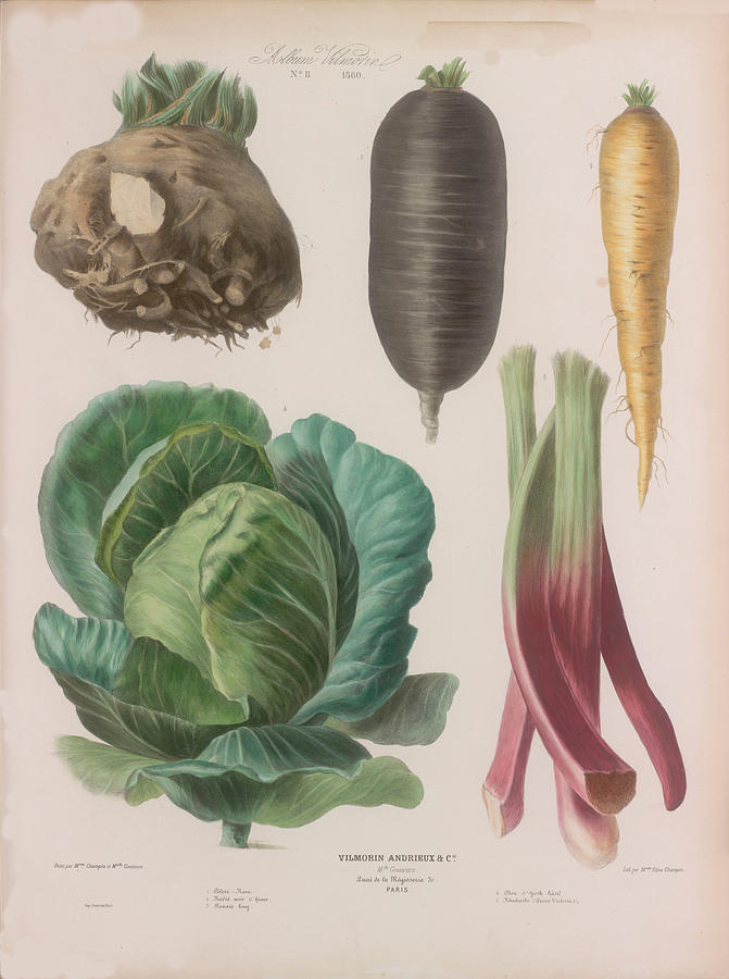 Black Radish Drawing - Vegetable paint art wall. Celery root, black radish, parnsip, rhubarb for home decor. Vintage poster by Art Be Ok
