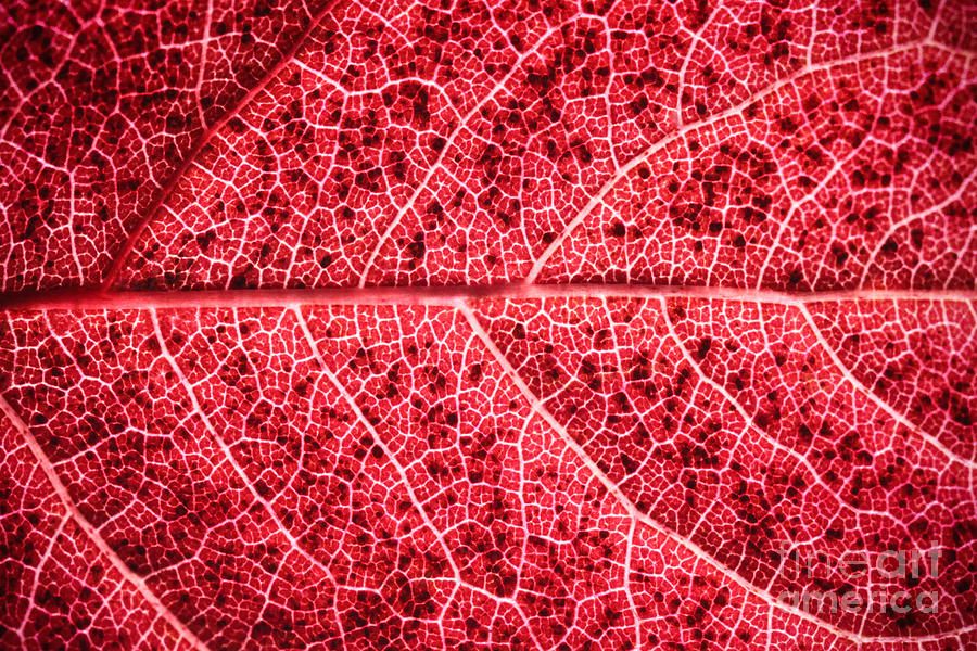 ryankellyphotography@gmail.com Photograph - Veins In A Red Autumn Leaf by Ryan Kelly