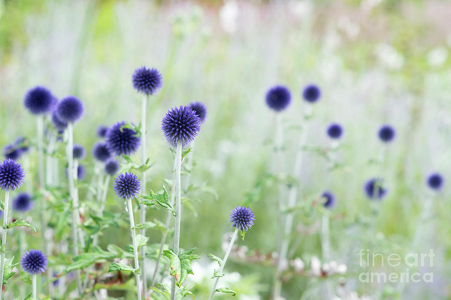 Plant Photograph - Veitchs Blue by Tim Gainey