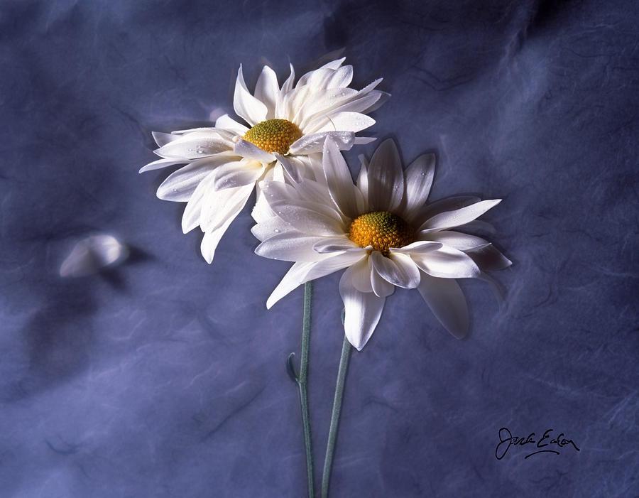 Flowers Photograph - Velvet Daisies by Jack Eadon