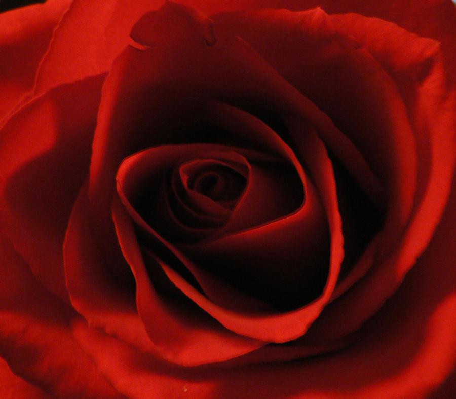 Red Rose Photograph - Velvet Rose by Ariel Horn