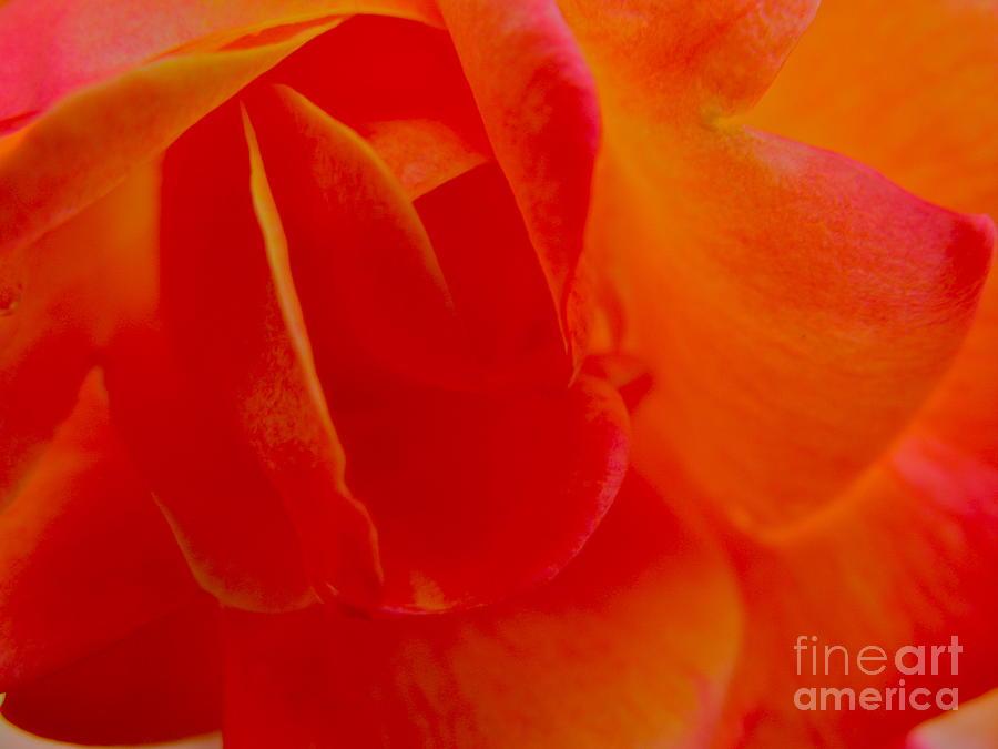 Rose Photograph - Velvet Touch by PJ  Cloud