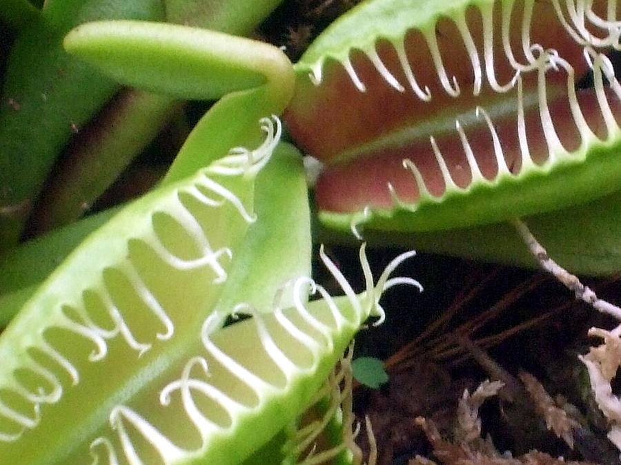 Digital Photograph - Venus Fly Traps by Mindy Newman