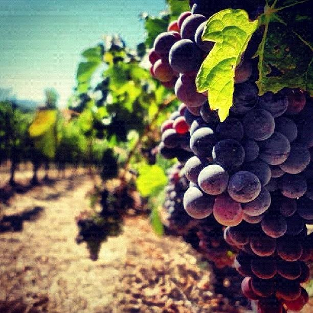 Scenery Photograph - Verasion in the Vineyards by Crystal Peterson