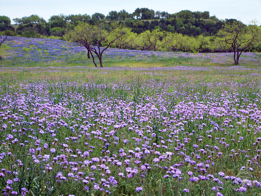 Wildflowers Photograph - Verbena And Blue Bonnet Landscape by Linda Phelps