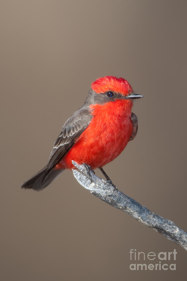 Clarence Holmes Photograph - Vermilion Flycatcher by Clarence Holmes