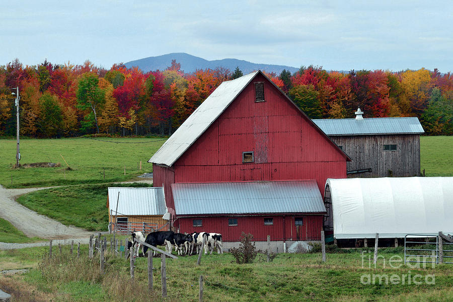 Vermont Photograph - Vermont Cows At The Barn by Catherine Sherman