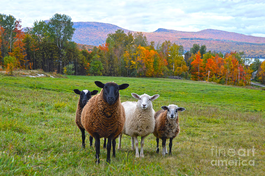 Sheep Photograph - Vermont Sheep In Autumn by Catherine Sherman