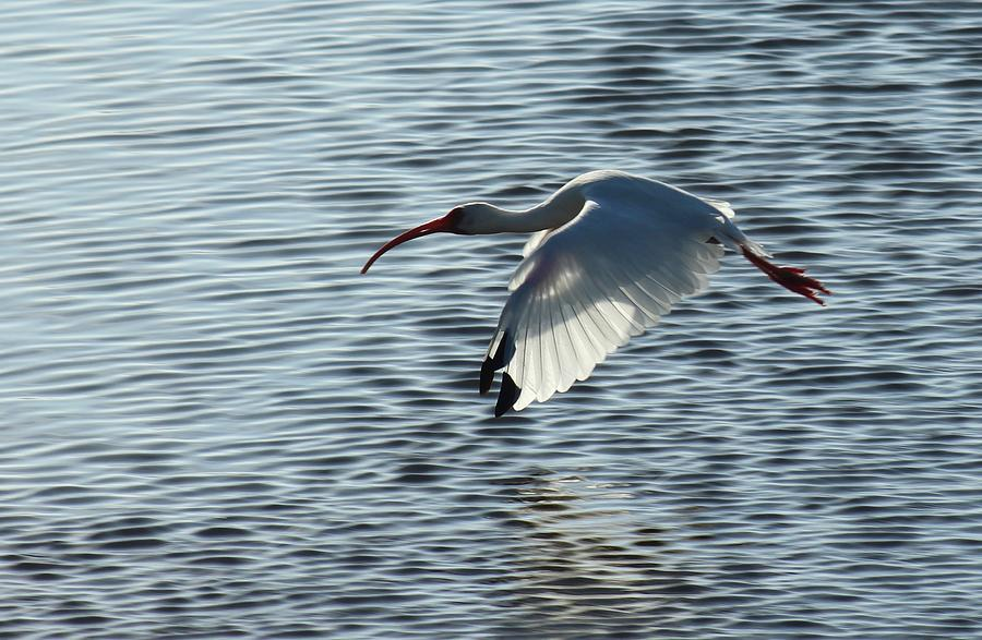 Ibis Fly By by Judy Robinson