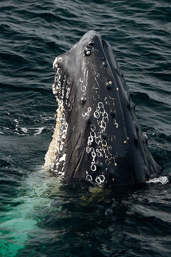 Vertical Humpback by Lawrence Boothby