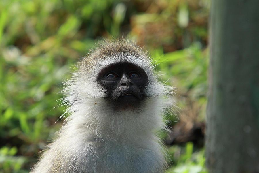 Vervet Monkey Photograph - Vervet Monkey by Aidan Moran