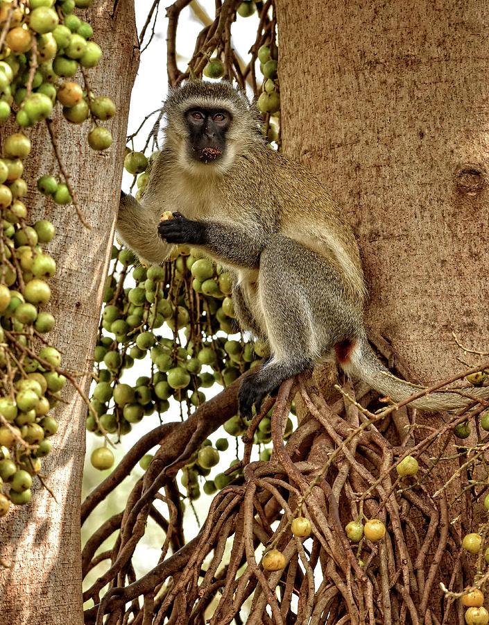 Vervet Monkey by Mitchell R Grosky