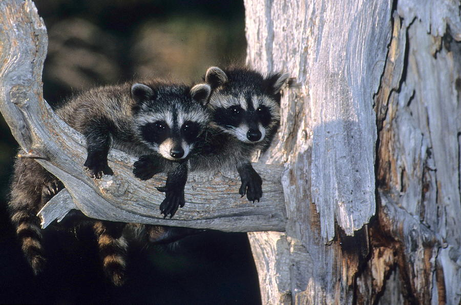 Wildlife Photograph - Very Young Raccoons by Larry Allan