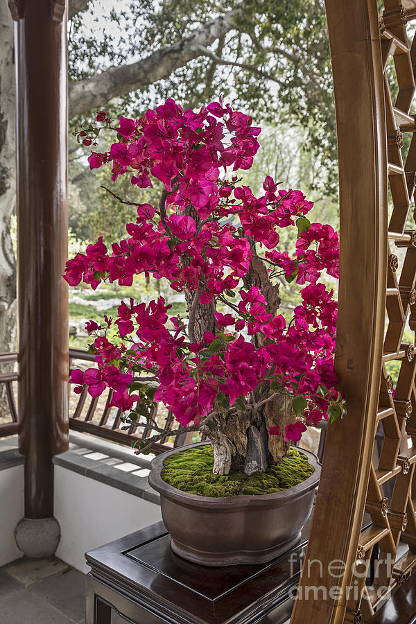 Vibrant And Blooming Bonsai Tree Photograph By Jamie Pham