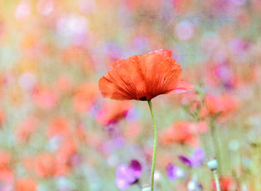 Vibrant Poppies In A Field Photograph