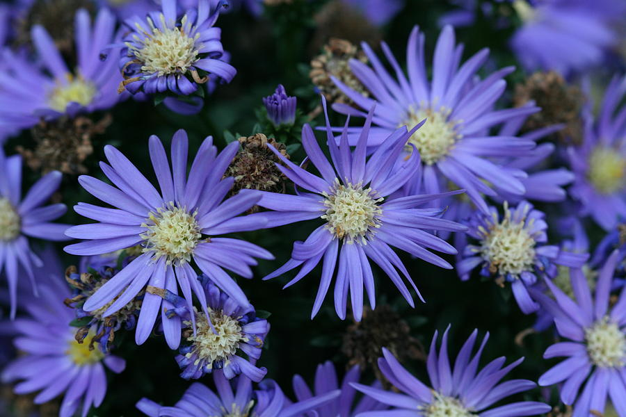 Asters Photograph - Vibrant Purple Aster Flowers At Different Stages by Bonnie Boden
