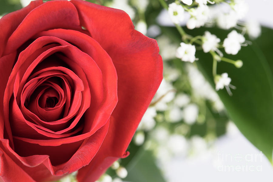 Vibrant Red Rose Photograph
