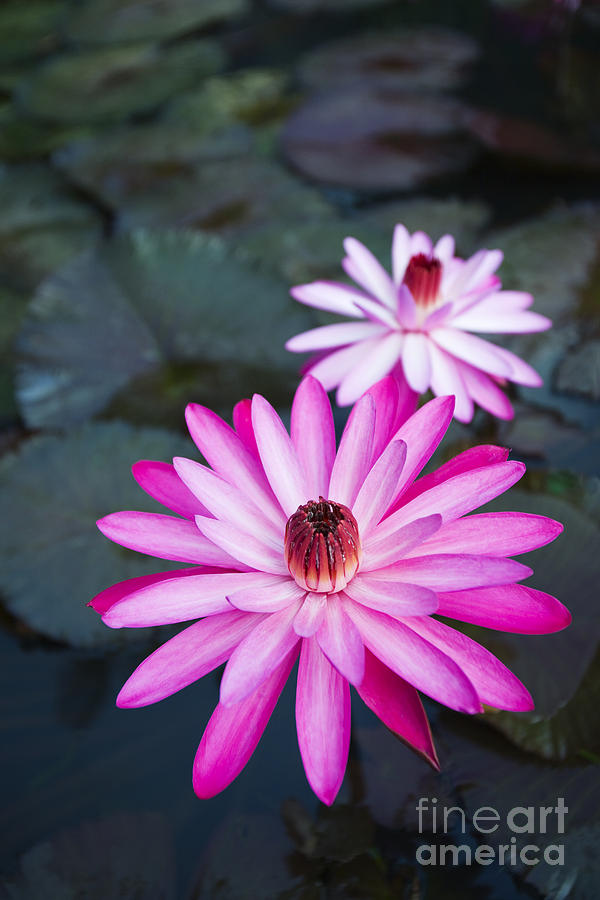 Beautiful Photograph - Vibrant Waterlilies by Dana Edmunds - Printscapes
