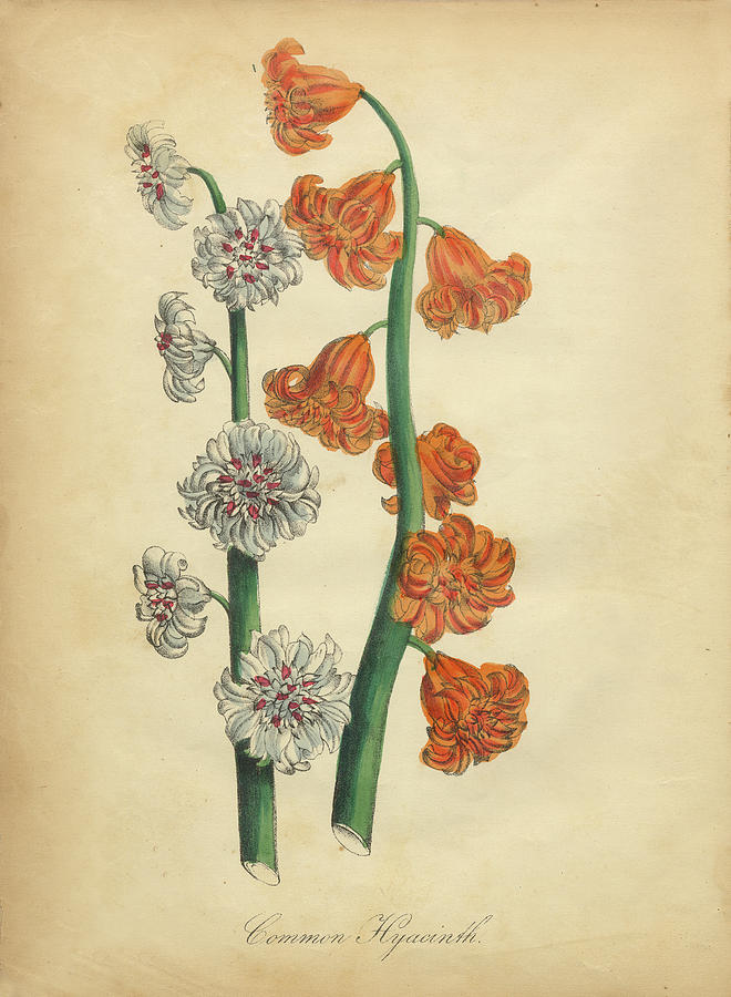 Victorian Botanical Illustration Of Common Hyacinth Painting By