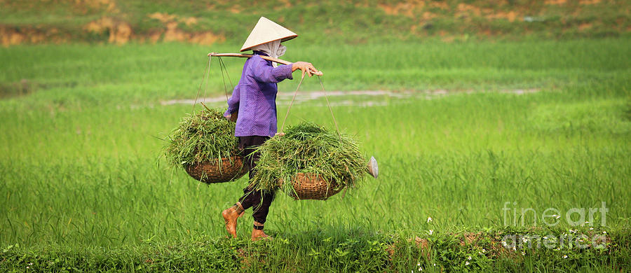 Agriculture Photograph - Vietnamese Woman at Work in Ricefield by Denis Dore