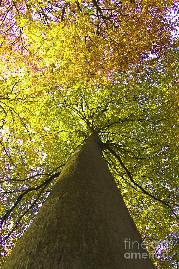 View To The Top Of Beech Tree Photograph