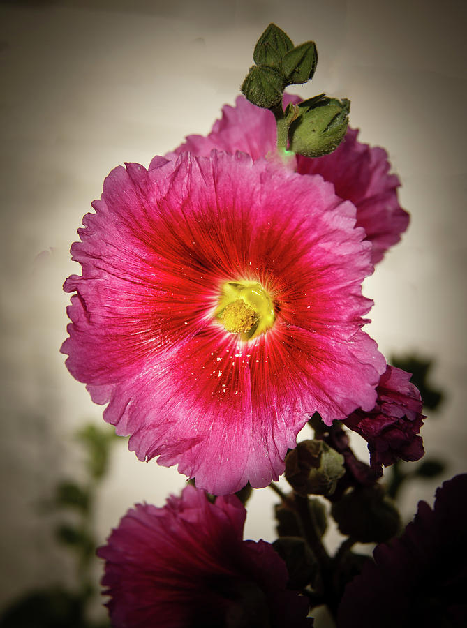 Alcea Rosea Photograph - Vignetted Hollyhock by Robert Bales