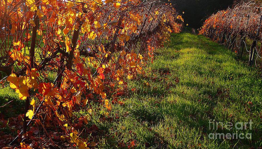 California Wine Country Photograph - Vineyard 13 by Xueling Zou