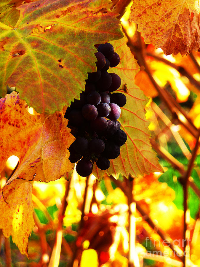 Grapes Photograph - Vineyard 20 by Xueling Zou