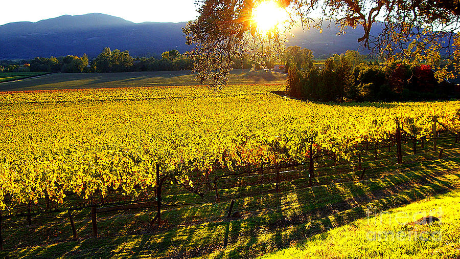 Napa Valley Wine Country Photograph - Vineyard 7 by Xueling Zou