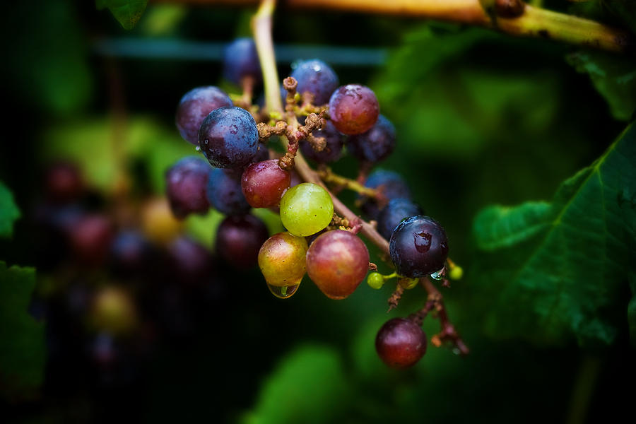 Vineyard Grapes by Mark Currier