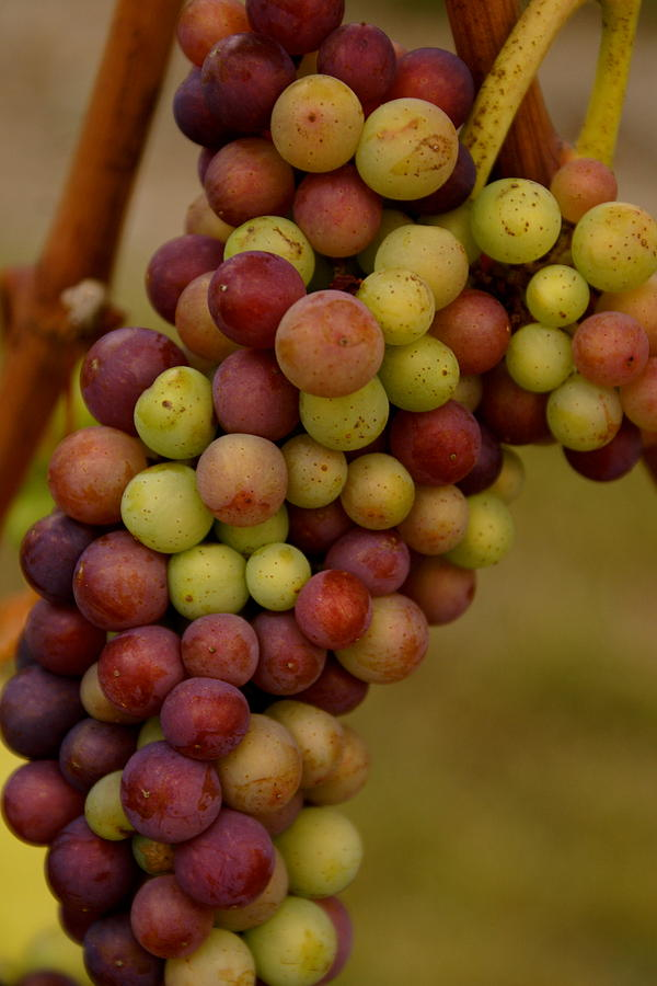 Winery Photograph - Vineyard Grapes by Sonja Anderson