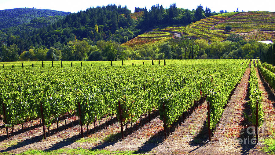 Vineyards Photograph - Vineyards In Sonoma County by Charlene Mitchell
