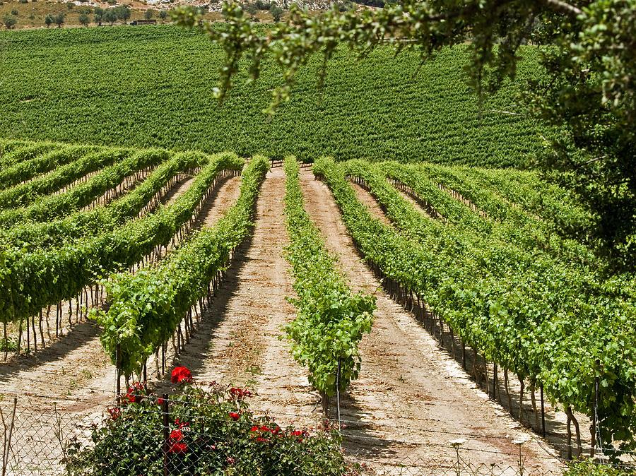 Vineyards Photograph - Vineyards In The Galilee 2 by Arik Baltinester