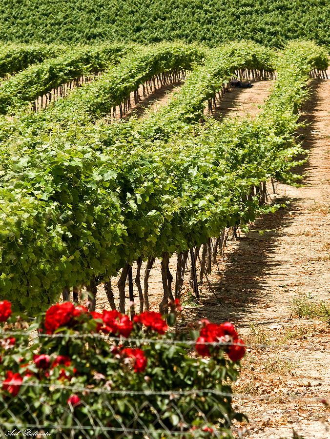 Vineyards Photograph - Vineyards In The Galilee  4 by Arik Baltinester