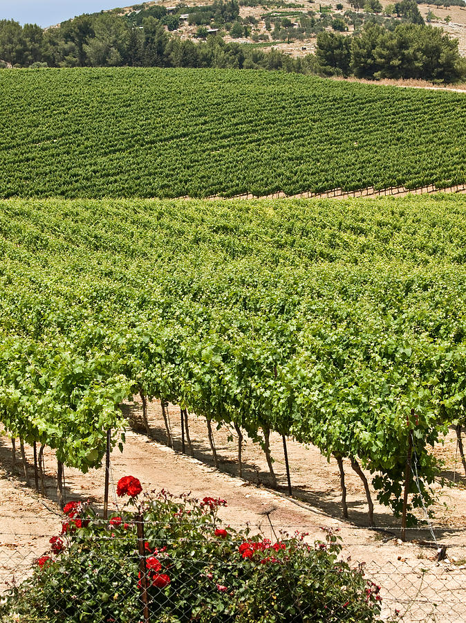 Vineyards Photograph - Vineyards In The Galilee by Arik Baltinester