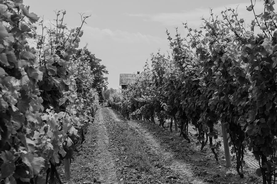 Vineyards of old Horizontal BW by Photographic Arts And Design Studio
