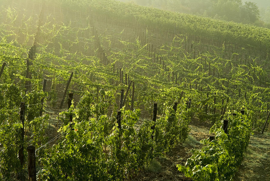 Vineyards Photograph - Vineyards Shrouded In Fog by Todd Gipstein