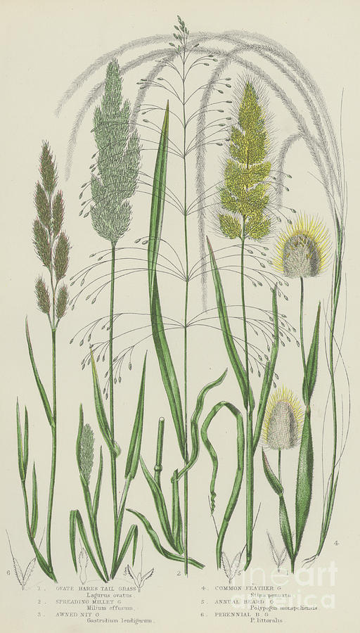 Vintage Botanical Print Of Grass Varieties by English School