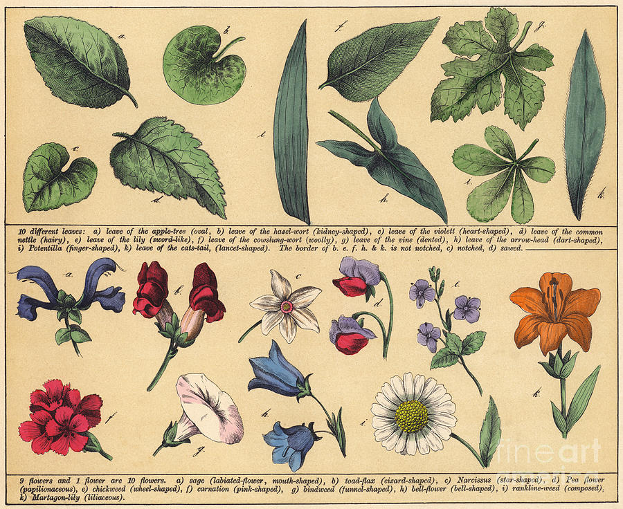 Vintage Botanical Print Showing Variety Of Leaves And Flowers by English  School