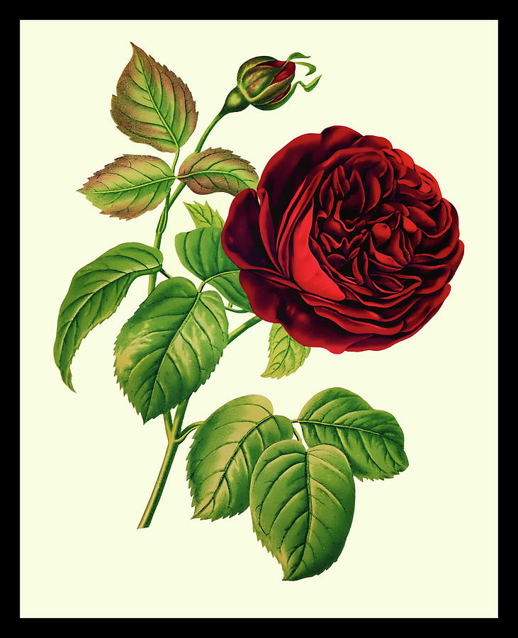 Vintage Botanical The Red Rose by Tom Prendergast