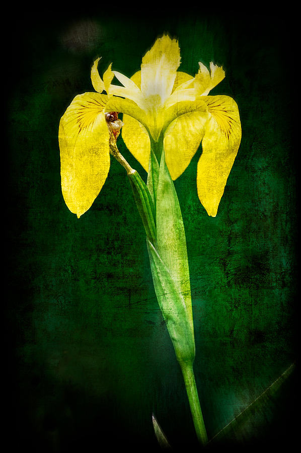 Vintage Photograph - Vintage Canna Lily by Rich Leighton