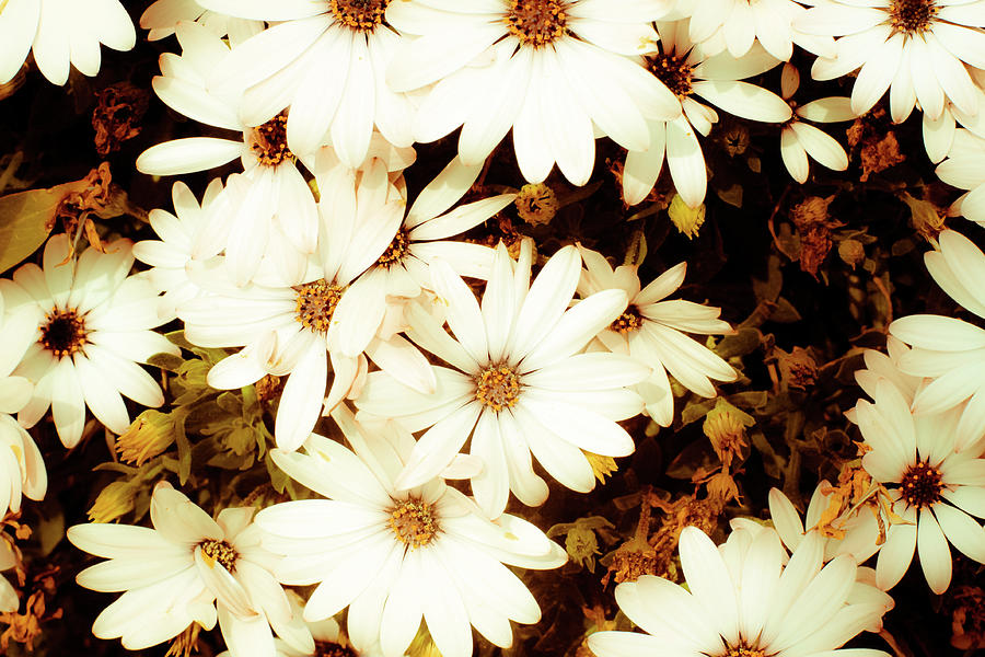 Daisy Photograph - Vintage Daisies by Denice Breaux