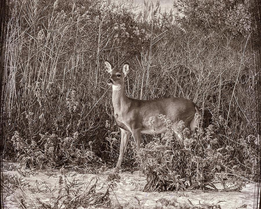 Deer Photograph - Vintage Deer by Cathy Kovarik