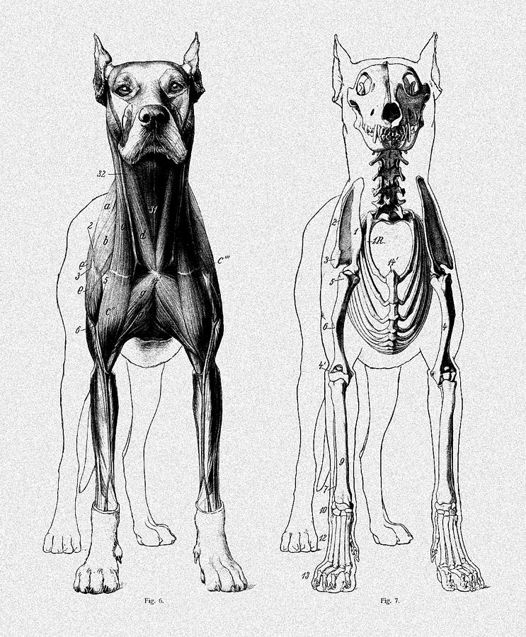 Vintage Dog Anatomy Scientific Illustration Digital Art by Sandra ...